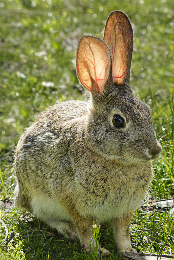 Download Rabbit With Pink Transparent Ears Stock Image - Image: 18793105