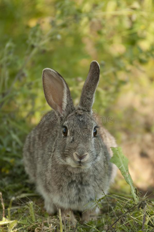 Rabbit portrait in the natural habitat, life in the meadow. European rabbit, Oryctolagus cuniculus. Rabbit portrait, life in the meadow. European rabbit stock photos