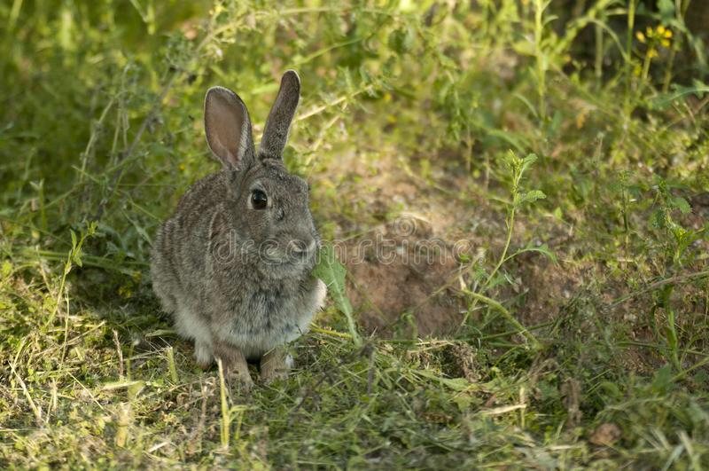 Rabbit portrait in the natural habitat, life in the meadow. Oryctolagus cuniculus. Rabbit portrait in the natural habitat, life in the meadow. European rabbit royalty free stock photos