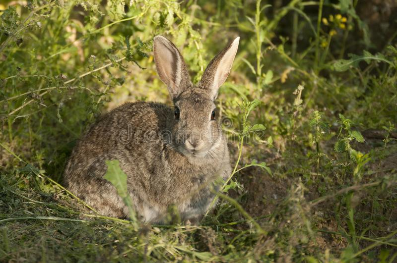 Rabbit portrait, life in the meadow. European rabbit, Oryctolagus cuniculus. Rabbit portrait in the natural habitat, life in the meadow. European rabbit royalty free stock photography