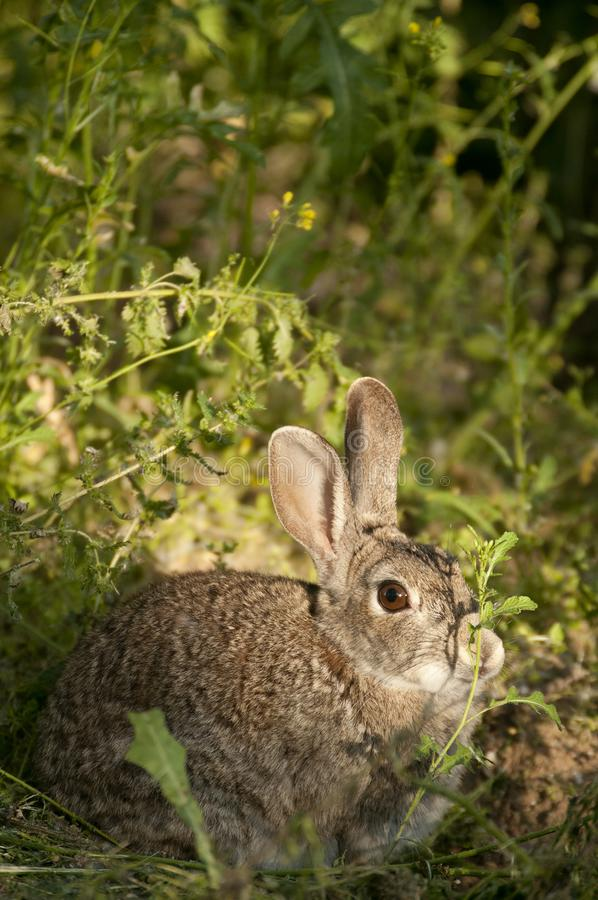 Rabbit portrait, life in the meadow. European rabbit, Oryctolagus cuniculus. Rabbit portrait in the natural habitat, life in the meadow. European rabbit stock photography
