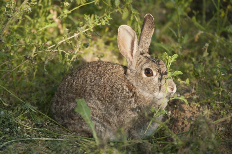 Rabbit portrait, life in the meadow. European rabbit, Oryctolagus cuniculus. Rabbit portrait in the natural habitat, life in the meadow. European rabbit royalty free stock photos