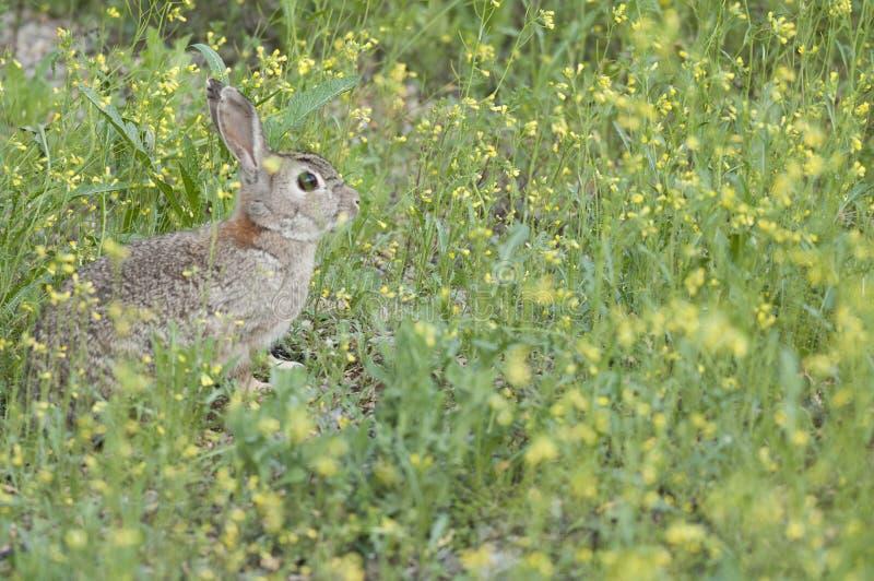 Rabbit portrait, life in the meadow. European rabbit, Oryctolagus cuniculus. Rabbit portrait in the natural habitat, life in the meadow. European rabbit stock photos