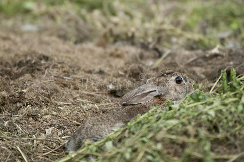 Rabbit portrait , life in the meadow. European rabbit, Oryctolagus cuniculus. Rabbit portrait in the natural habitat, life in the meadow. European rabbit stock images