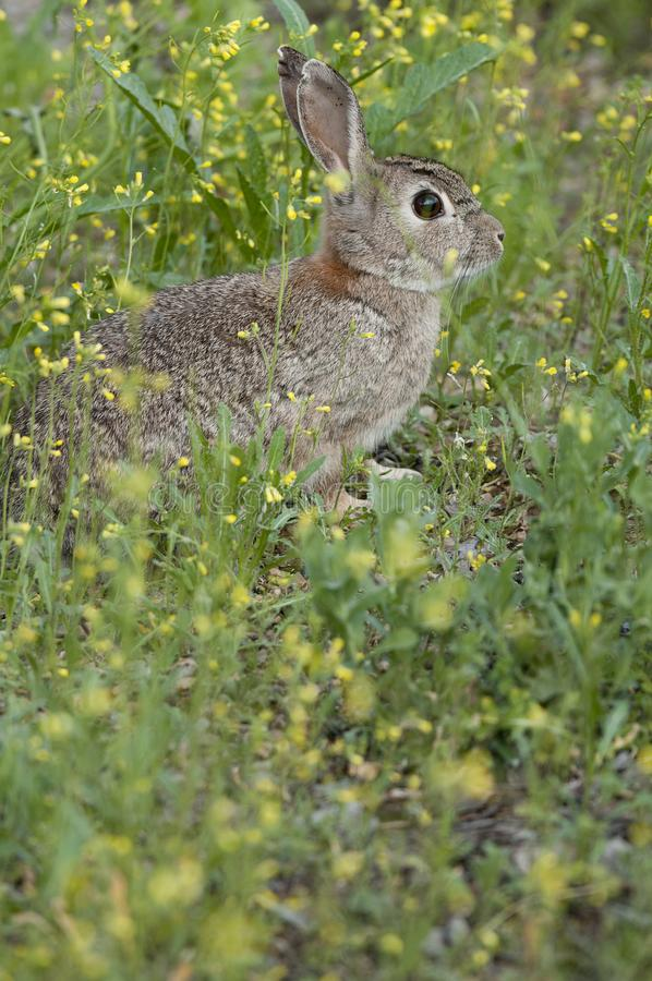 Rabbit portrait in the natural habitat, life in the meadow, Oryctolagus cuniculus. Rabbit portrait in the natural habitat, life in the meadow. European rabbit royalty free stock photography