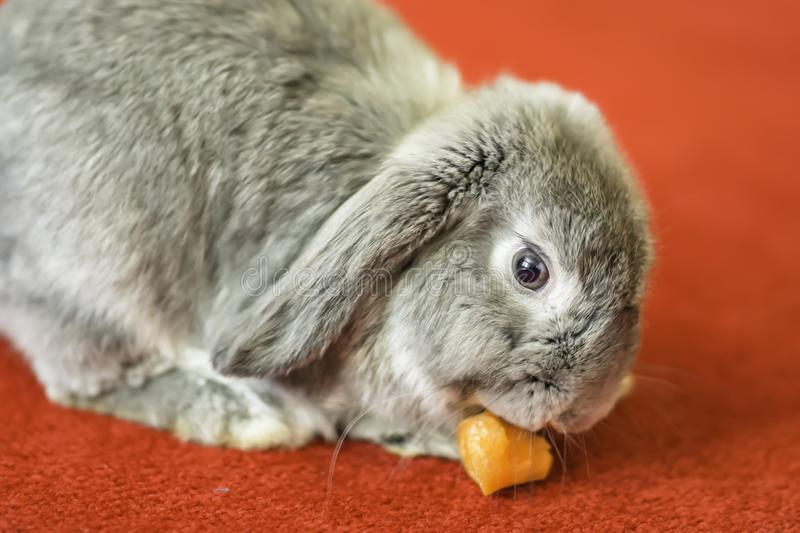 Rabbit on red carpet, cute pet portrait. Grey rabbit eating carrot on red carpet.Cute and fluffy animal at home.Pets uk.Close up portrait of bunny eating carrot stock photo