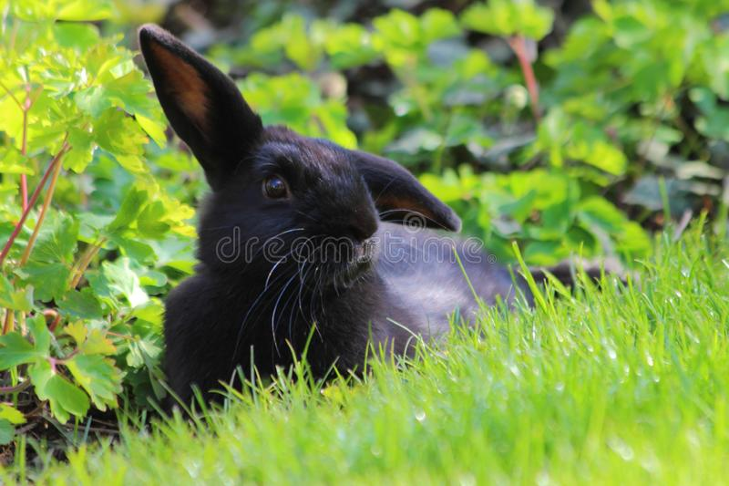 Rabbit relaxing in garden in Bavaria in germany. stock photography