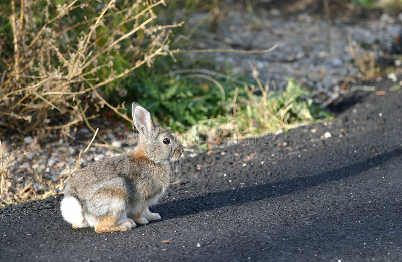 Rabbit on Road. Cute little cottontail rabbit casts a shadow while sitting on freshly paved black asphalt. Main focus towards the rabbits head stock image