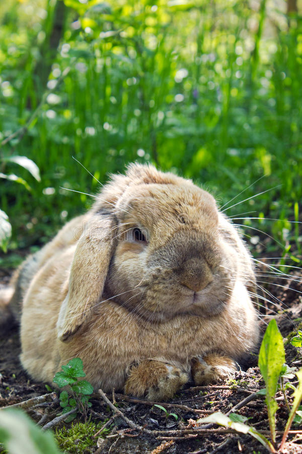 Rabbit. A rabbit is in the shade under a tree stock photo