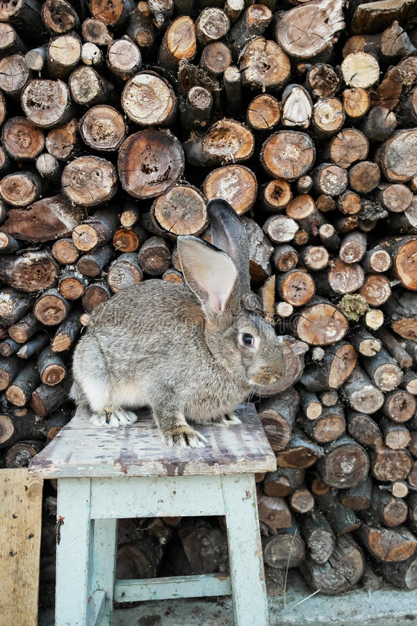 Rabbit Sitting On Chair Stock Images