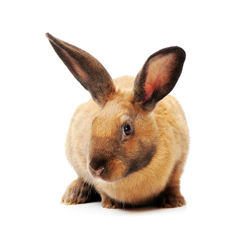 Rabbit sitting in front stock photography