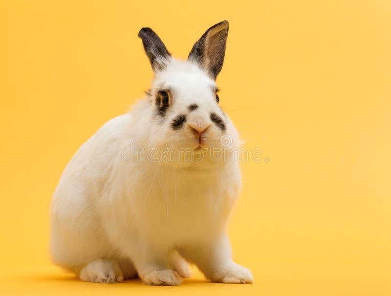 Rabbit sitting on yellow background stock photo