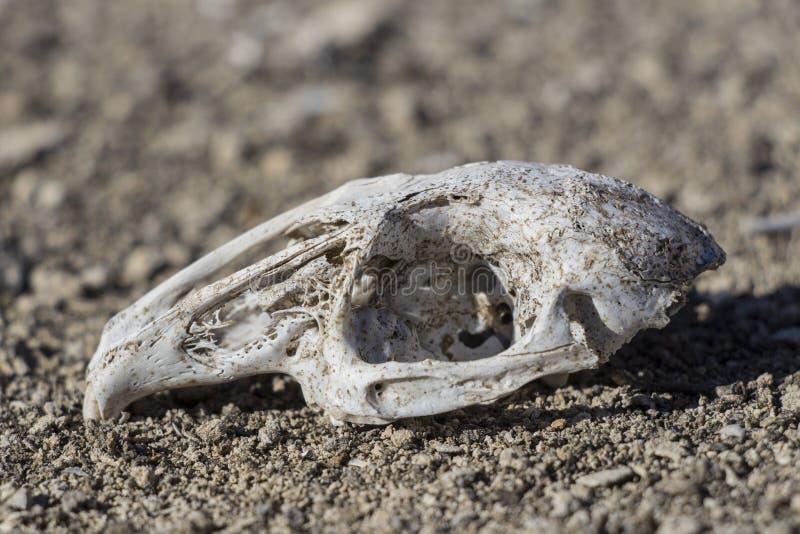 Rabbit skull in nature stock photo