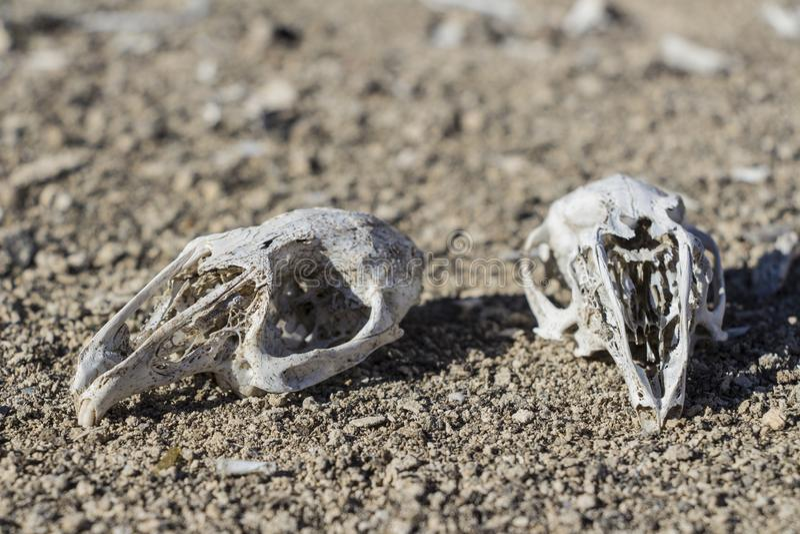 Rabbit skulls in nature royalty free stock photos