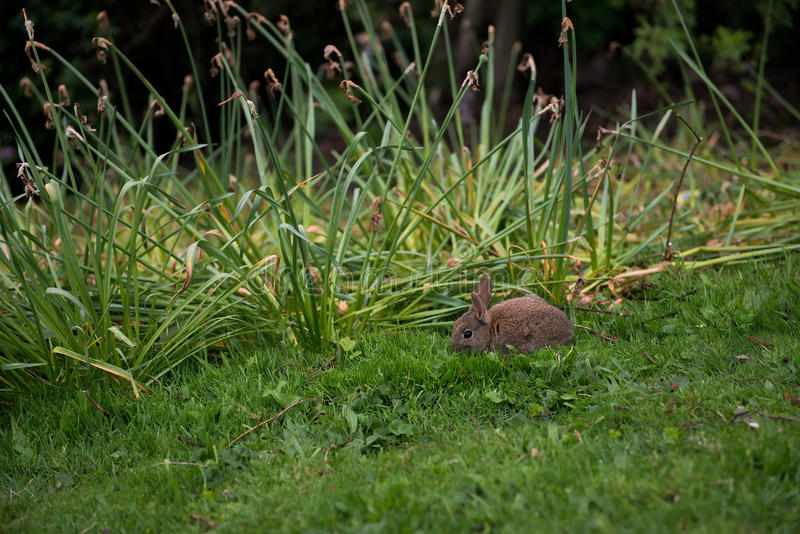 Rabbit. A small rabbit sitting on the grass in the park, flowers of iris that have ceased blossoming are in the background stock images