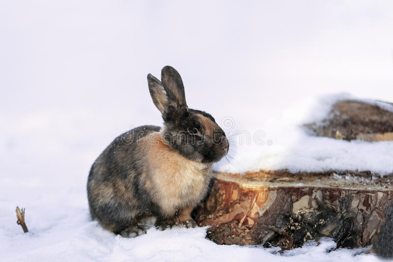 Rabbit in the snow in the forest stock images