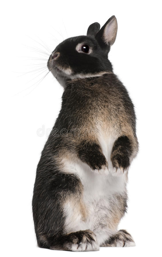 Rabbit standing on hind legs royalty free stock photography