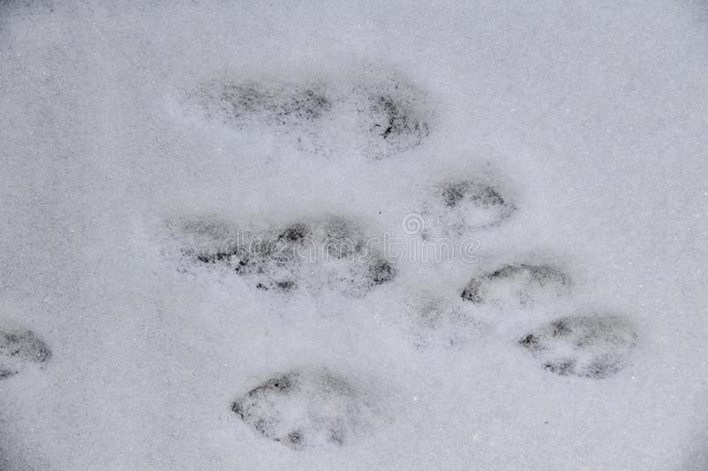 Rabbit tracks in the freshly fallen snow of a bunny who hopped across the area - top down view stock image
