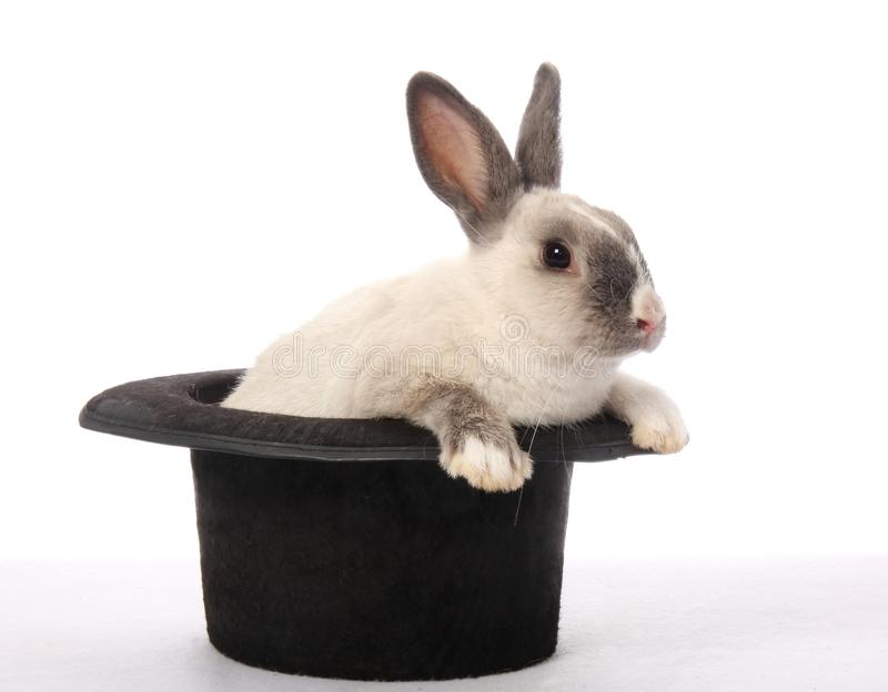 Rabbit Trick. Cute bunny rabbit climbing out of a black hat stock photography