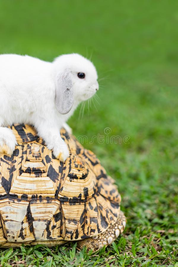 Rabbit on the turtle after completing the race at the garden in the evening royalty free stock image