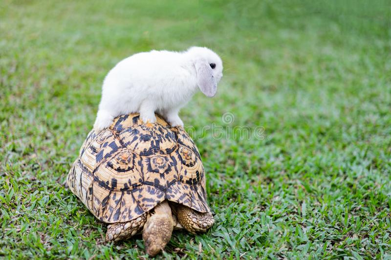 Rabbit on the turtle after completing the race at the garden in the evening royalty free stock photo