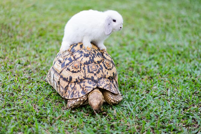 Rabbit on the turtle after completing the race at the garden in the evening stock photos