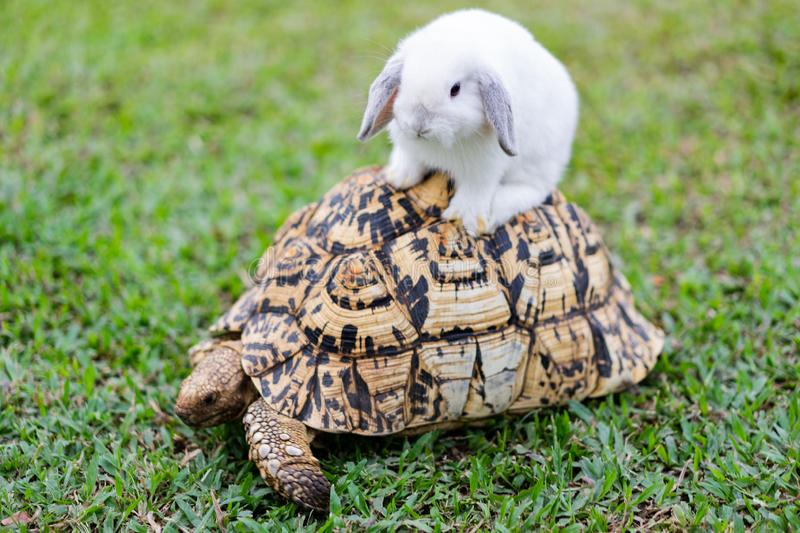 Rabbit on the turtle after completing the race at the garden in the evening stock photography