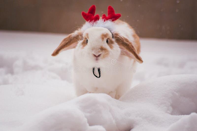 Rabbit wearing red deer horns costume. Bunny rabbit wearing red deer horns costume royalty free stock images