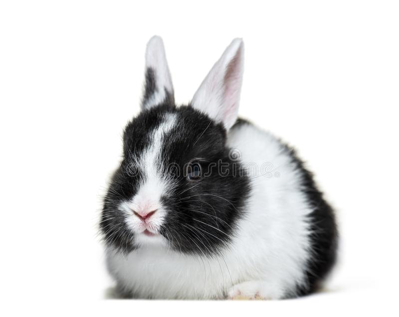 Rabbit, 8 weeks old, in front of white background royalty free stock photo