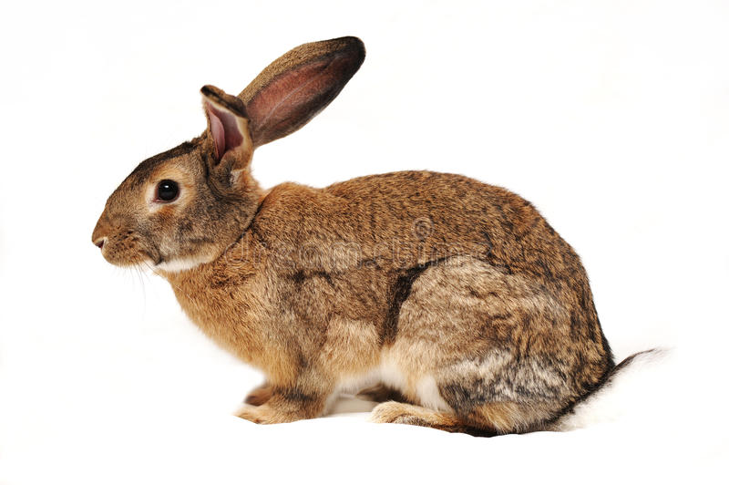 Download Rabbit On A White Background Stock Image - Image: 22367299