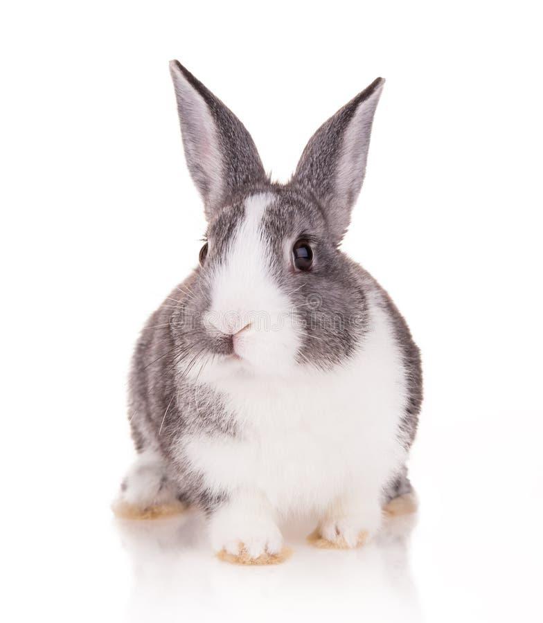 Rabbit on white background stock photography