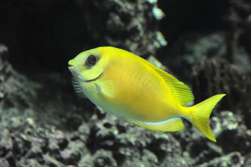 Rabbitfish coralino imagen de archivo libre de regalías