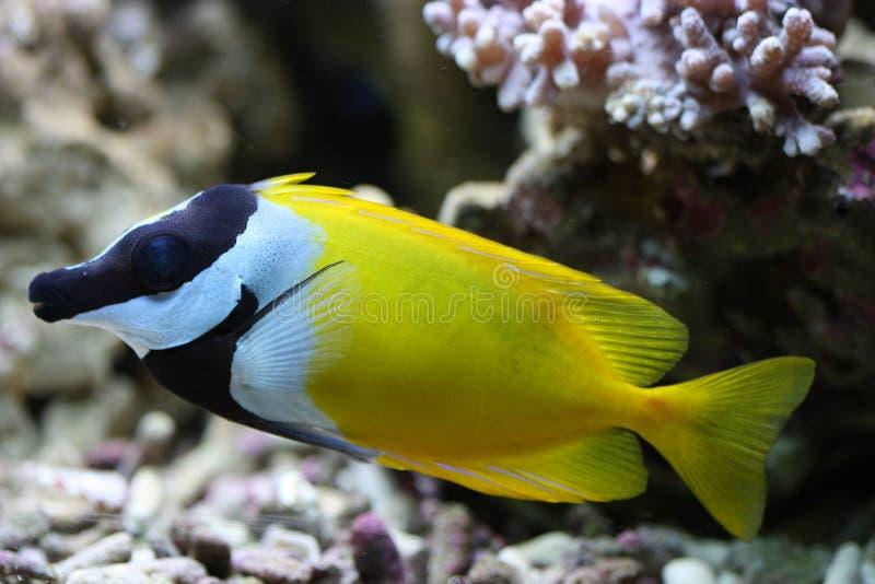 Download Rabbitfish de foxface image stock. Image du récif, timide - 8665039