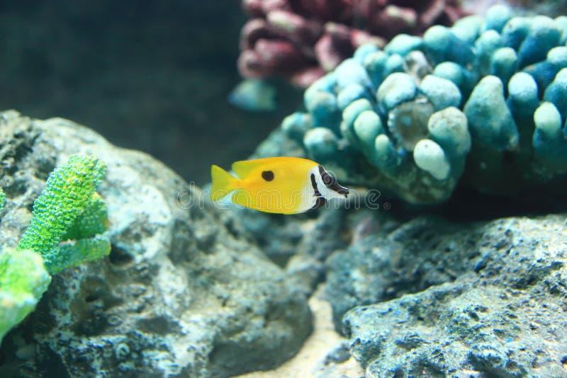 Rabbitfish di Foxface immagini stock libere da diritti
