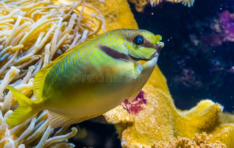 Rabbitfish rabiscado no close up, peixe barrado do spinefoot, specie animal tropical do Oceano Pacífico fotos de stock royalty free