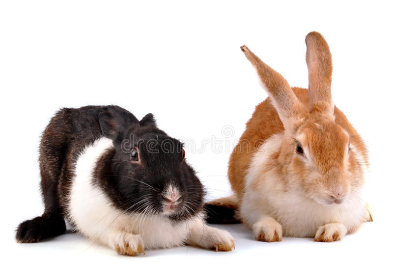 Rabbits. Cute domestic rabbits on white royalty free stock photo