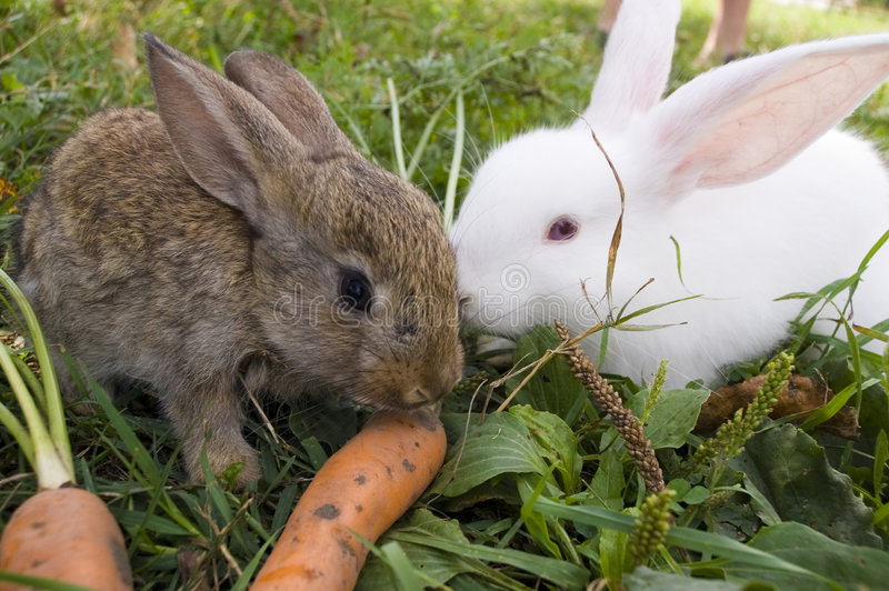 Rabbits and carrot stock photography