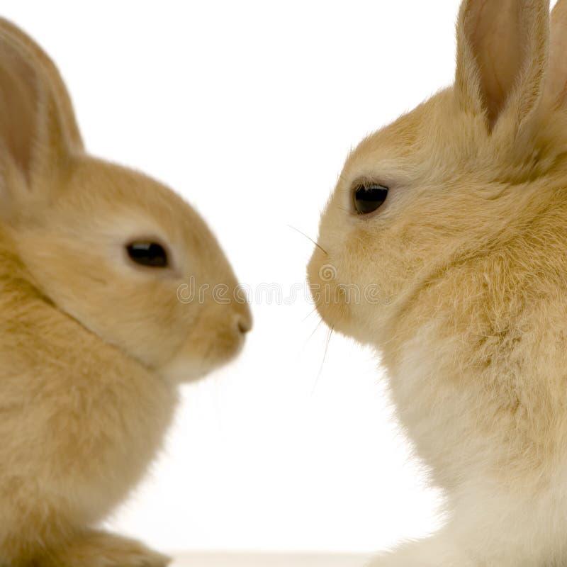 Rabbits dating royalty free stock photography