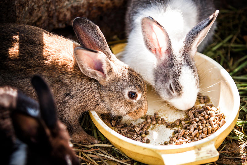 Rabbits eat Food. Rabbits eat at lunch time royalty free stock images