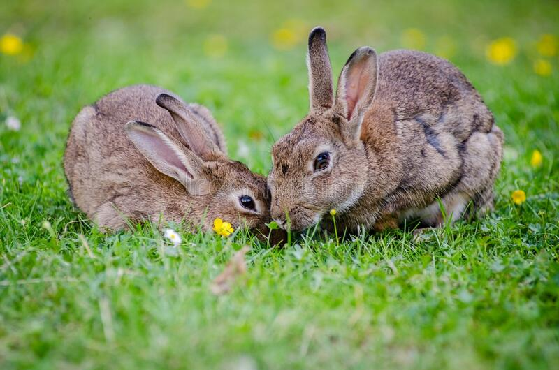 2 Rabbits Eating Grass at Daytime royalty free stock photography