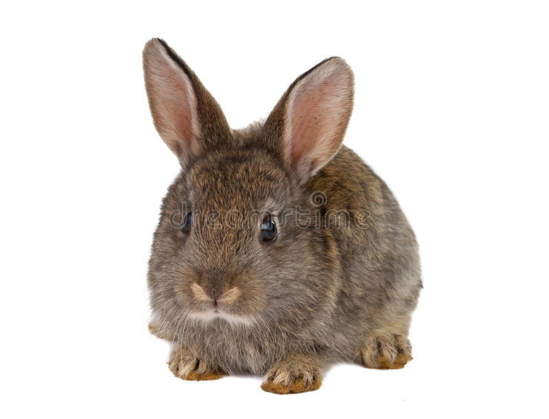 Download Rabbits isolated stock photo. Image of gray, brown, funny - 25889884