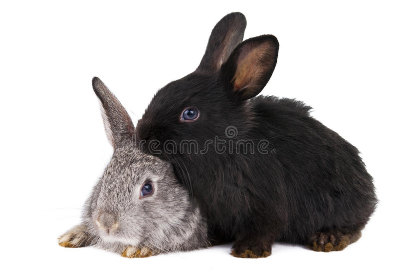 Download Rabbits isolated stock photo. Image of shot, studio, tame - 25891478