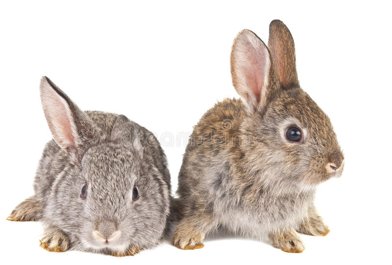 Rabbits Isolated Royalty Free Stock Image