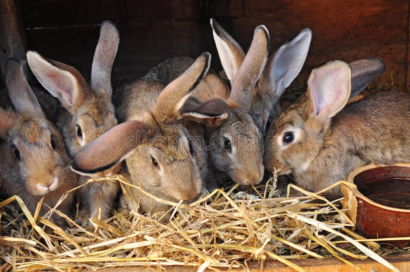 Rabbits in rabbit-hutch. Feeding rabbits in rabbit-hutch, home farm and meat production stock images