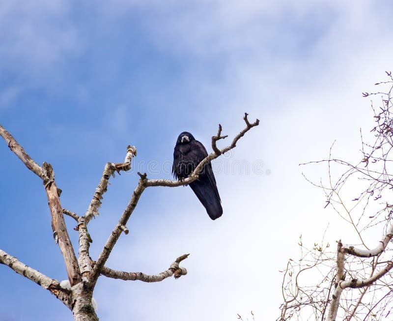 Rabe auf Baum stockfotografie