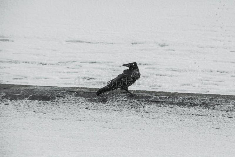 Rabe im zimy bei Schneesturm zdjęcia royalty free