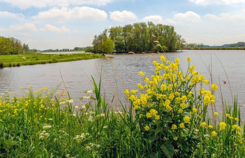 Rabina floreciente amarilla en la orilla de un pequeño lago imagen de archivo