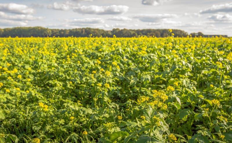 Rabina floreciente amarilla en un campo holandés grande en el verano s imagenes de archivo