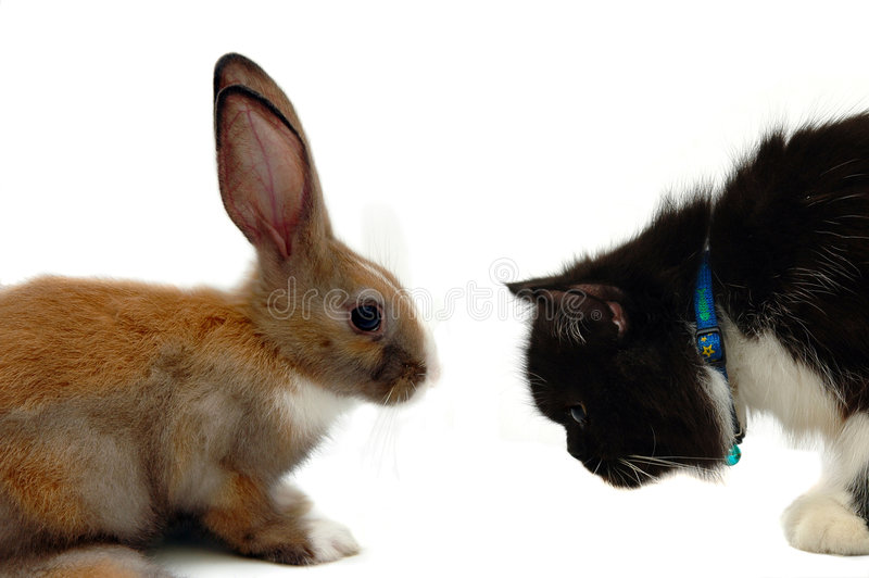 Rabit Contre Le Chat Images stock