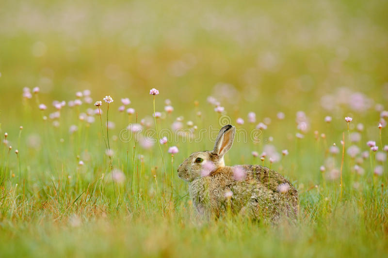Rabit in ping spring flowers. Cute rabbit with flower dandelion sitting in grass. Animal in nature habitat, life in meadow. Europe royalty free stock photos